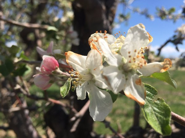 Apple blossom trees were in
