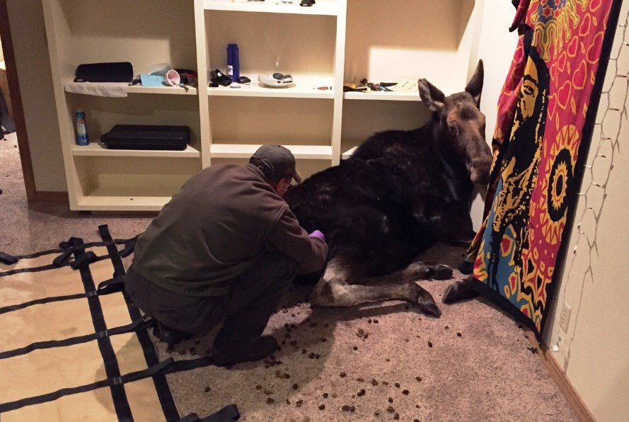 Well-mannered moose drops in, hangs out in basement of Idaho home