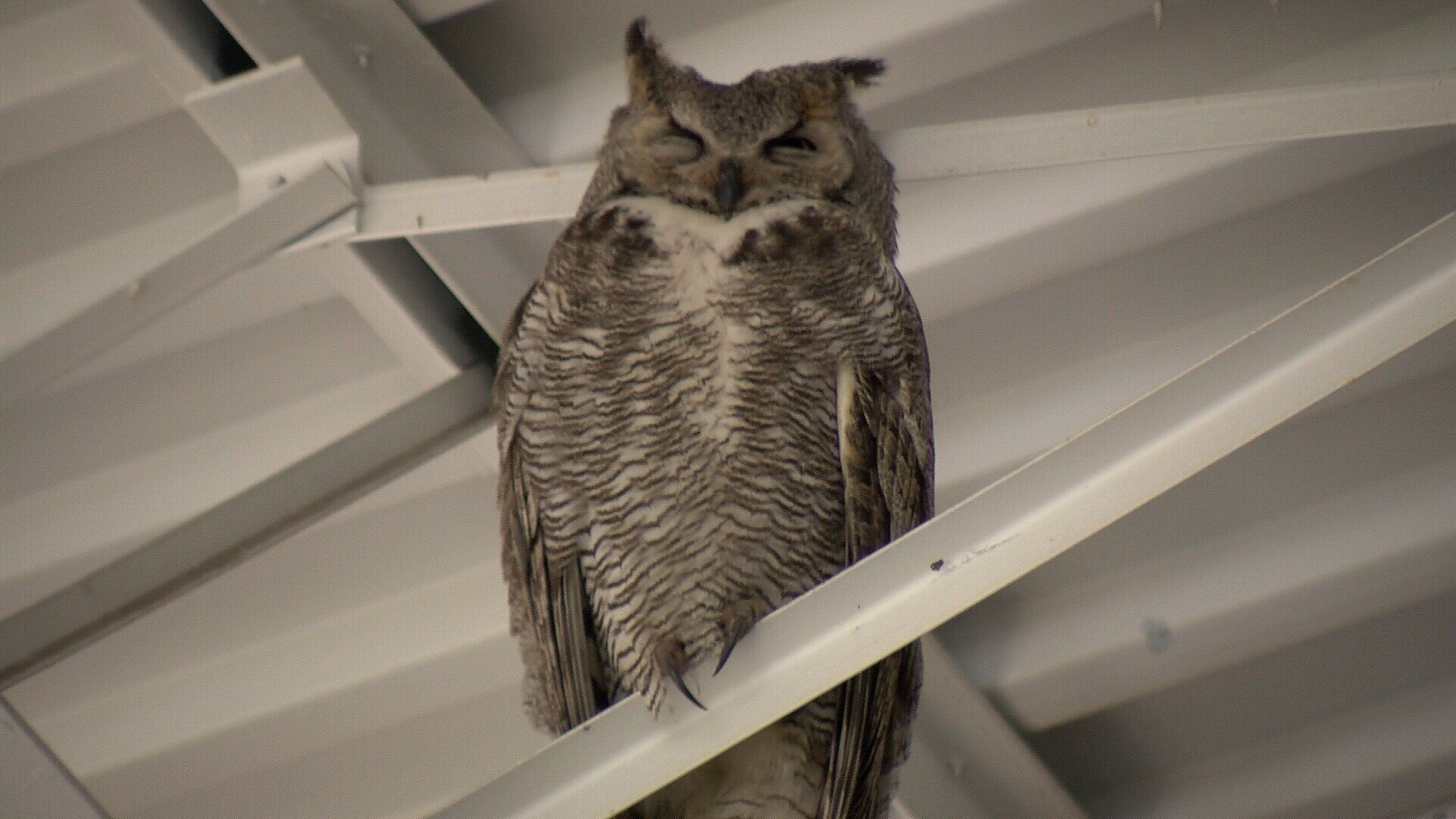 An adult owl keeps an eye out for the chicks and humans. (KOAA)
