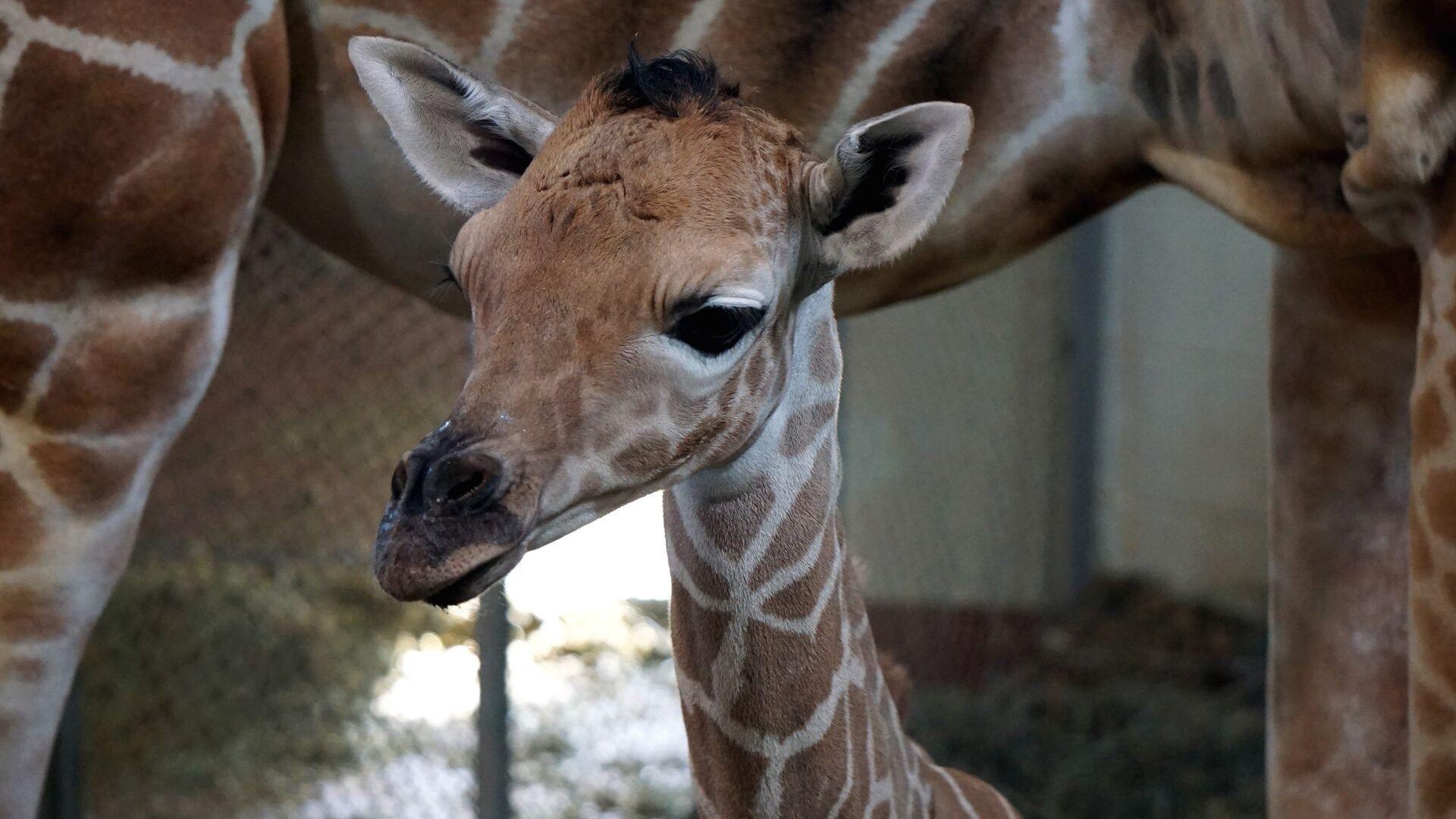The Cheyenne Mountain Zoo welcomes a new giraffe calf born April 26th.