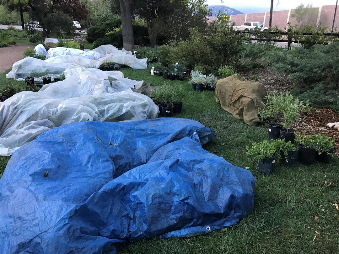Gigantic Annual Plant Sale organizers scramble to cover up plants the night before their sale kicks off. (KOAA)