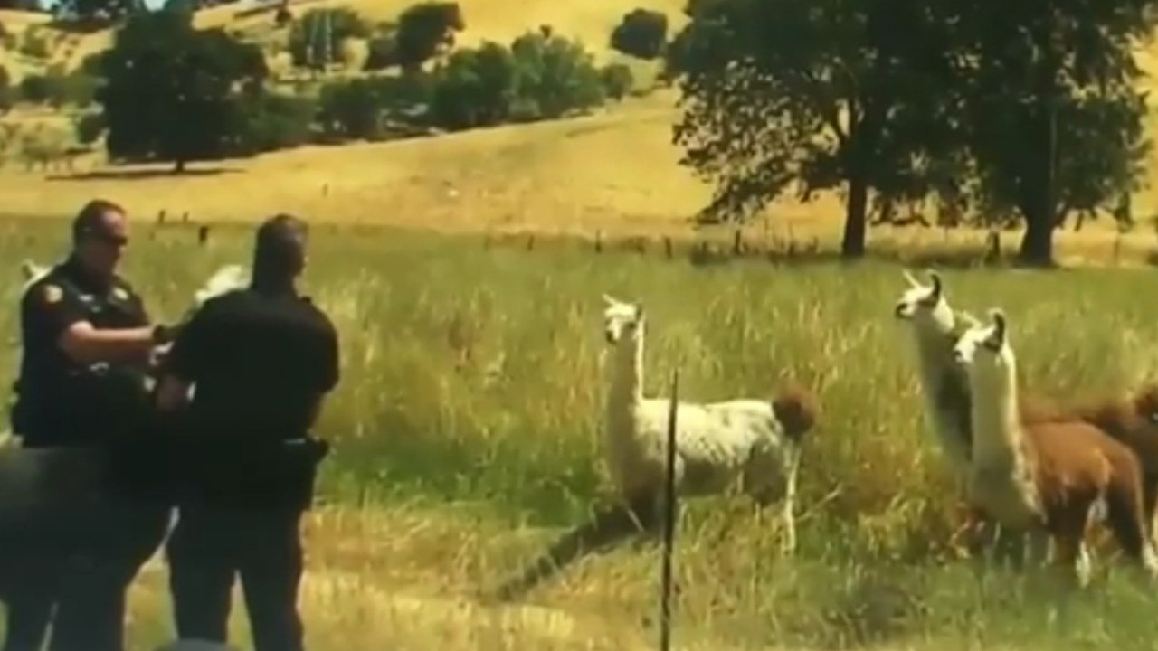 California deputies harness wayward Llama