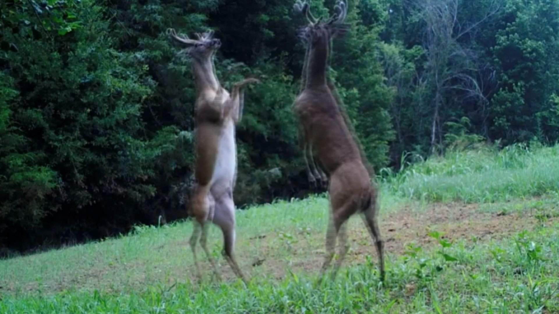 An officer with the Tennessee Wildlife Resources Agency captures on camera in a most unusual fight between two deer.