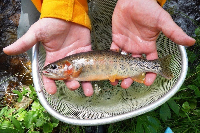 A rare cutthroat trout after it was rescued from the South Prong of Hayden Creek on July 20, 2016, by Colorado Parks and Wildlife staff and U.S. Forest Service volunteers.