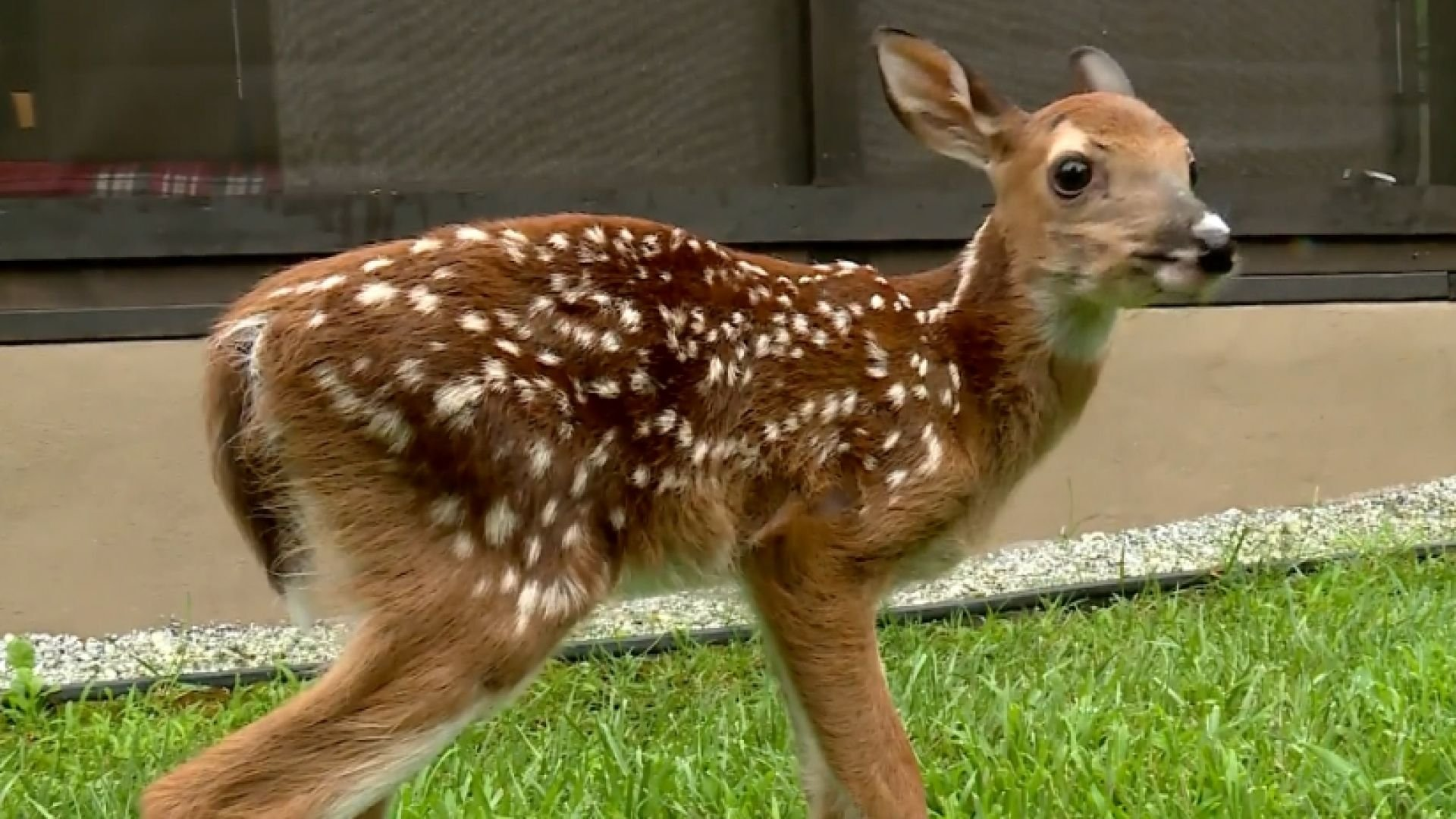 The mother of this fawn gave birth after being hit by a car.