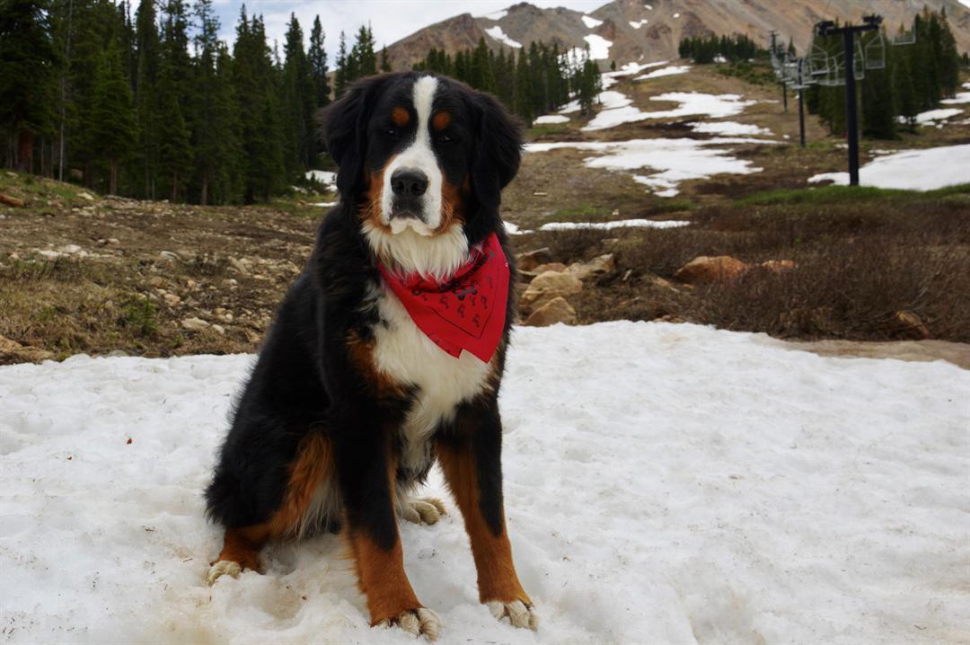 Loveland Ski Area adopts new mountain dog