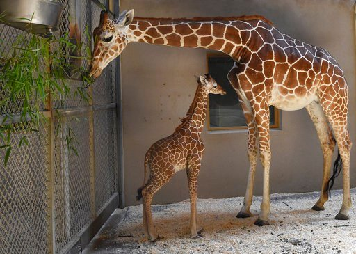 Julius, the newest baby giraffe is pictured at the Maryland Zoo  on June 28, 2017.