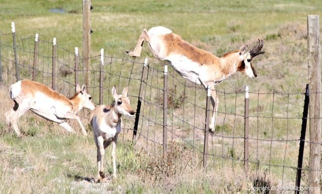 Pronghorn jump over a barbed-wire fence.