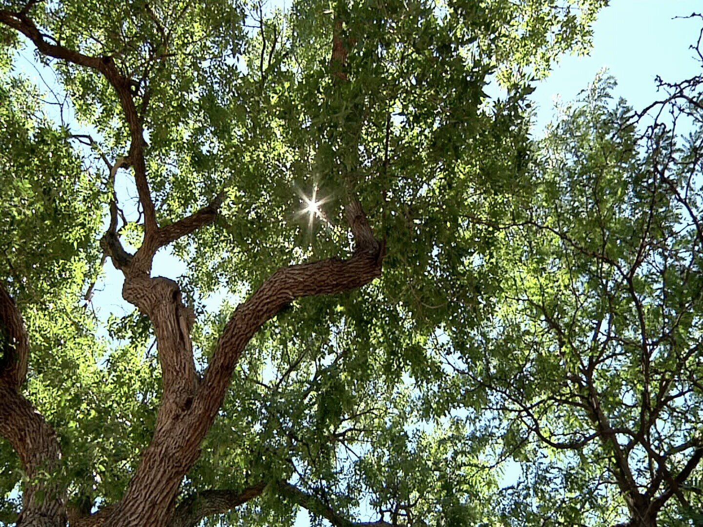 Engineers with Canon City plan to remove a mature Ash tree growing in the right of way near Lisa and Ron Stark's home on Whipple Avenue