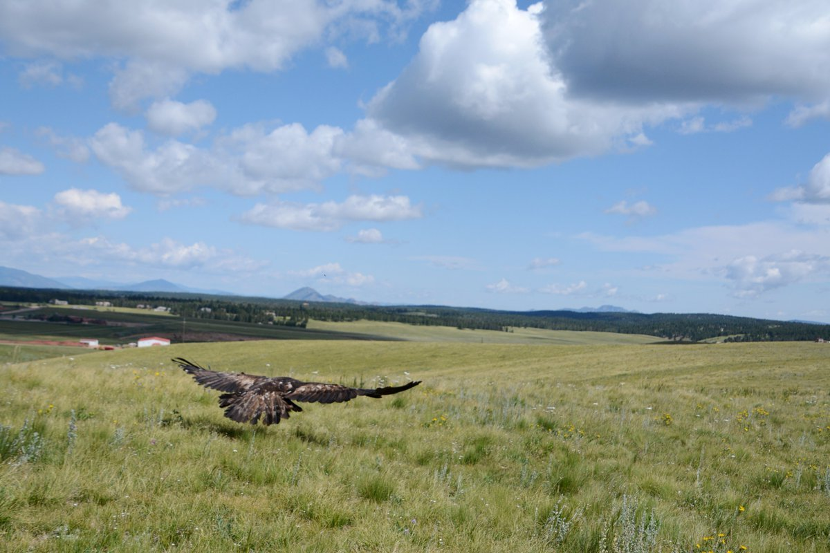 A picture of a golden eagle release in Pueblo County after it was rehabilitated.