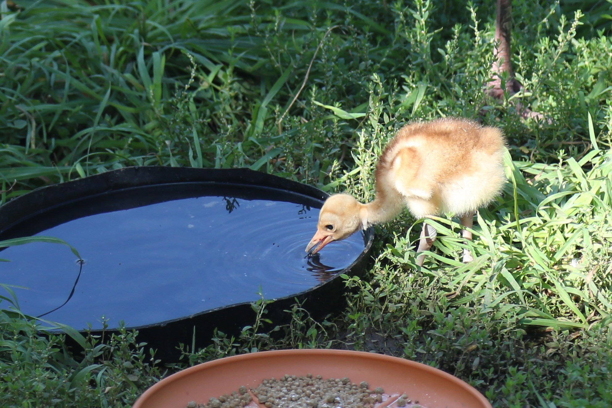 Denver Zoo is celebrating its first-ever hatching of a Sarus crane.