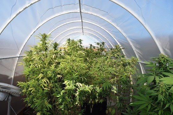 Marijuana plants discovered in a greenhouse on 43-year-old Benjamin Chavez's house.