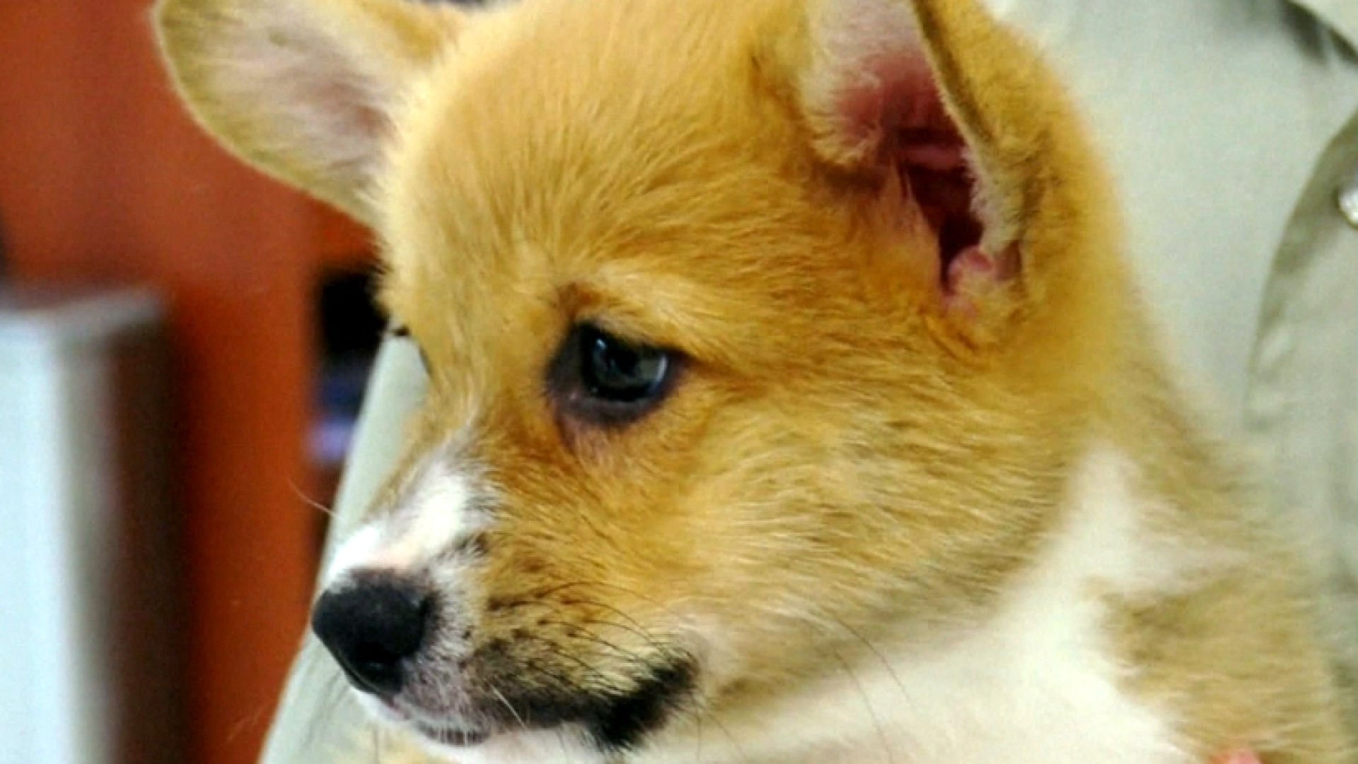 Bacterial infection outbreak traced back to puppies at national pet store chain