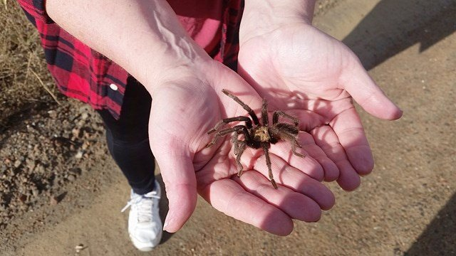Oklahoma Brown tarantulas seeking mates this time of year in Southern, CO