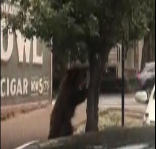 Family of bears caught on camera in Aspen