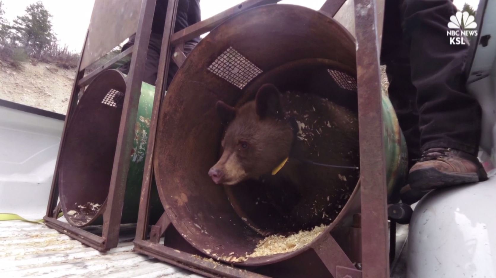 Wildlife officers released a bear into the Utah wilderness