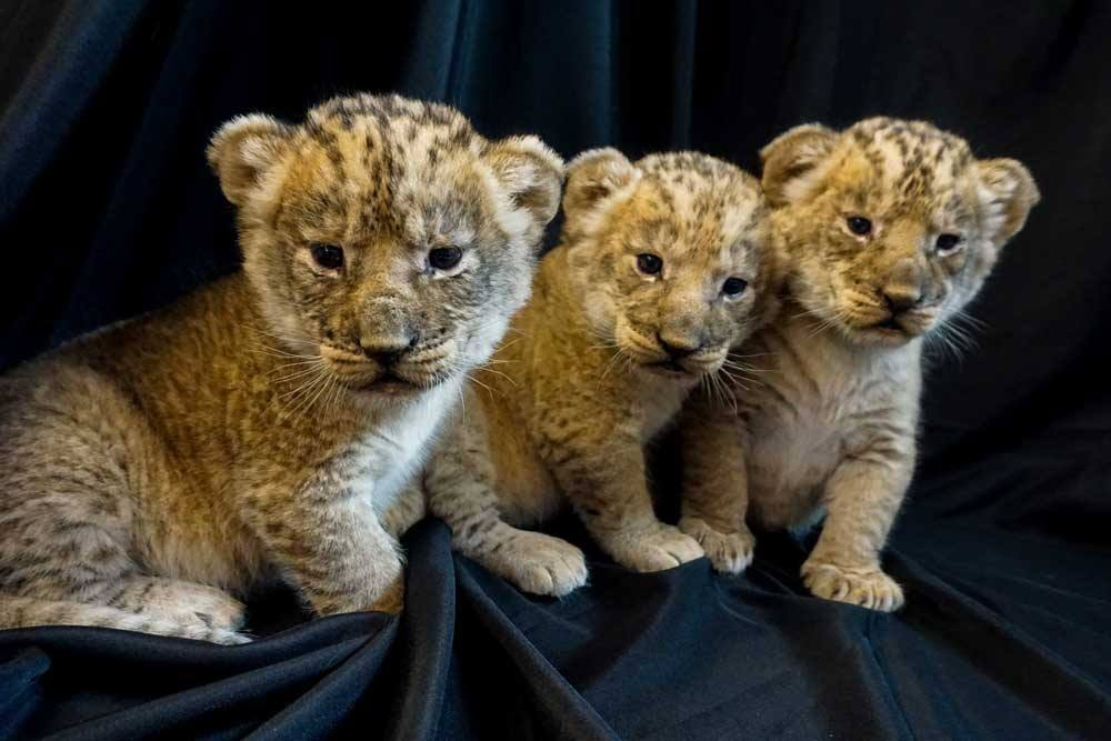 Pueblo Zoo welcomes three lion cubs