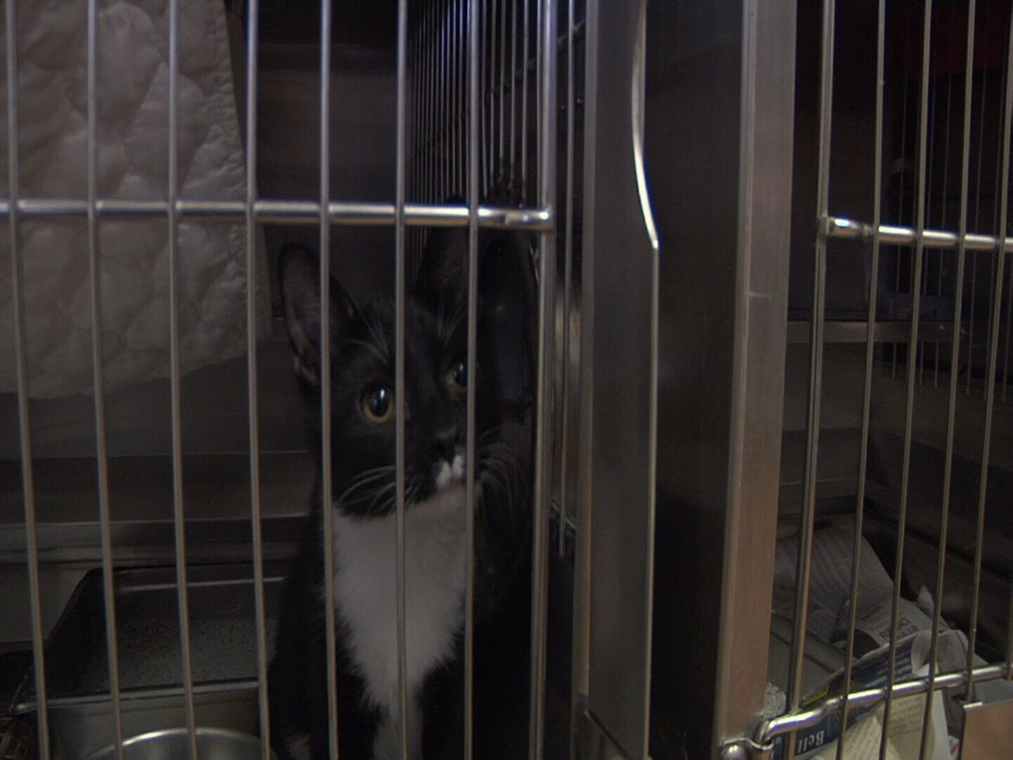 Cat at Humane Society of Fremont County