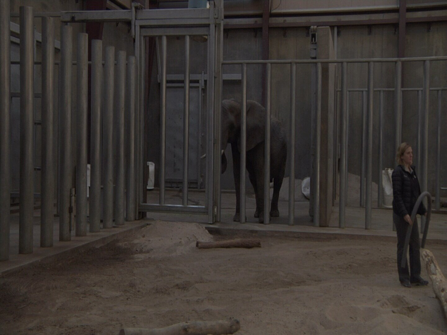 Staff at Cheyenne Mountain Zoo conduct elephant rescue training