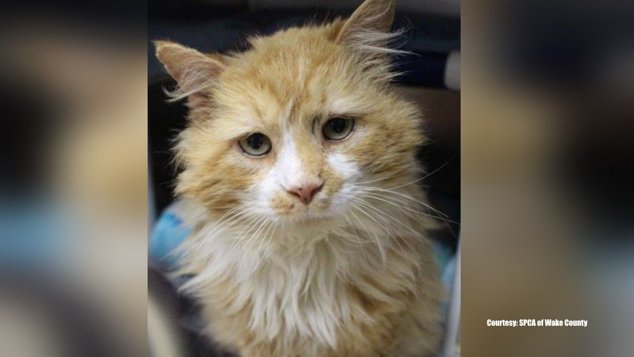 Cat who walked 12 miles to the family who rejected him (twice) finds new home
