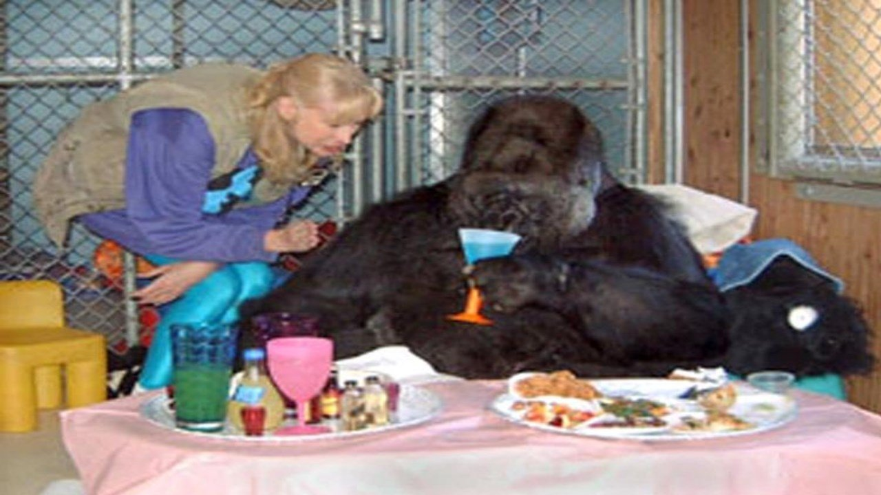 """Koko"" the signing gorilla celebrates her 30th birthday with Dr. Penny Patterson, The Gorilla Foundation, Woodside, California"