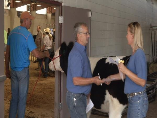 Livestock are checked for health and weight at the state fair