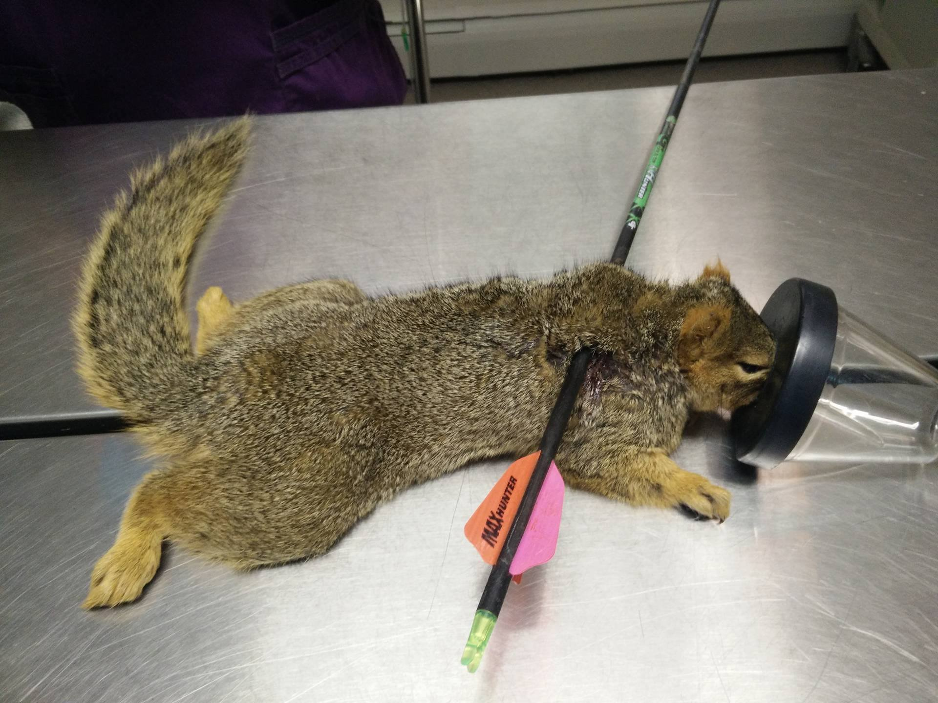 Photo from Animal Clinic of Woodland Park shows squirrel impaled by arrow.