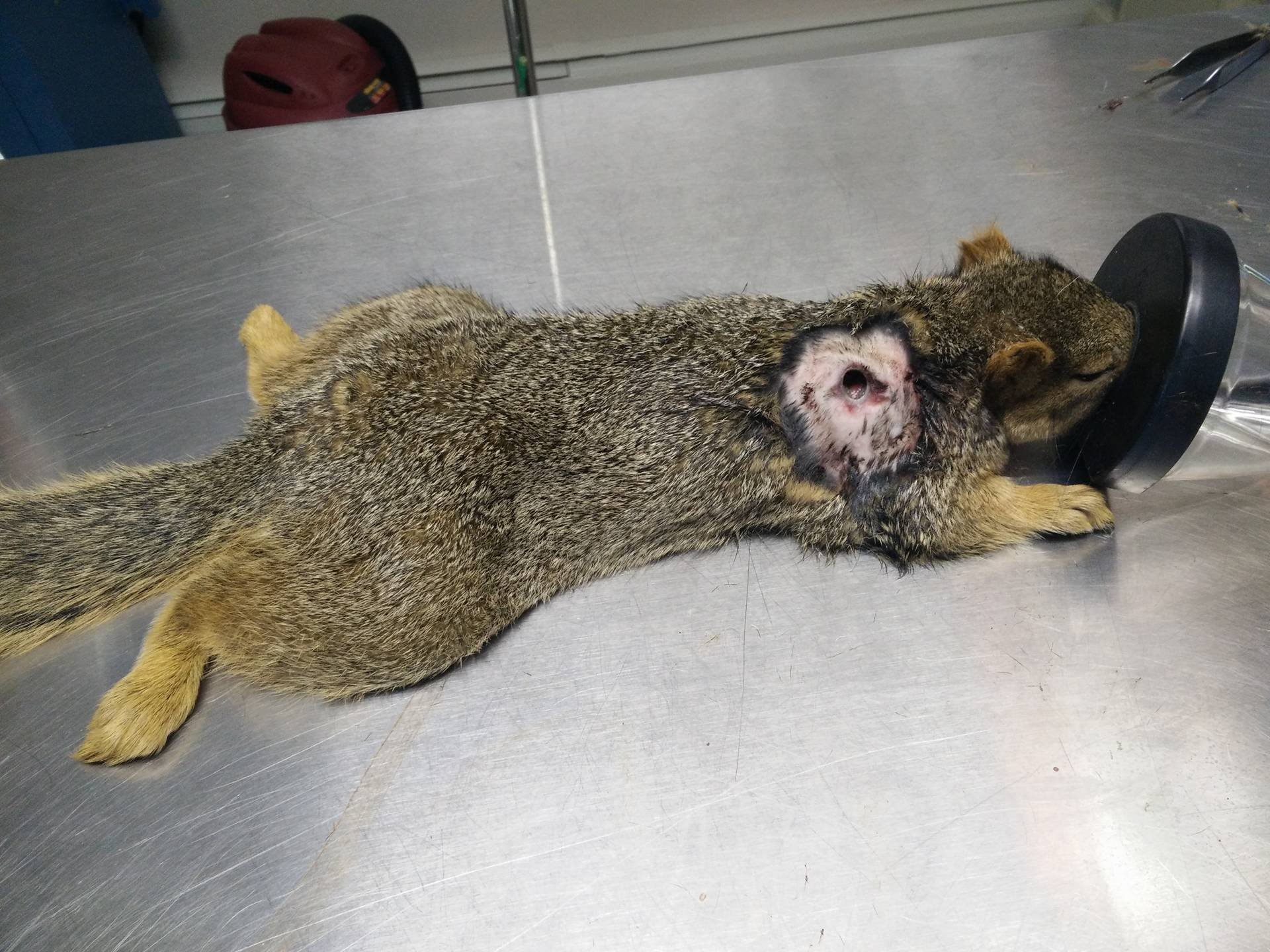 Photo of injured squirrel after the Animal Clinic of Woodland Park removed an arrow that impaled this squirrel.