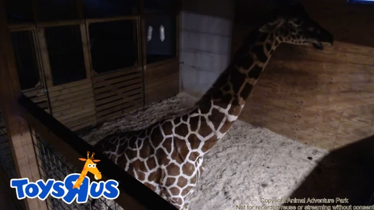 April the giraffe live cam youtube - Animal Adventure Park Giraffe Cam Youtube March 27