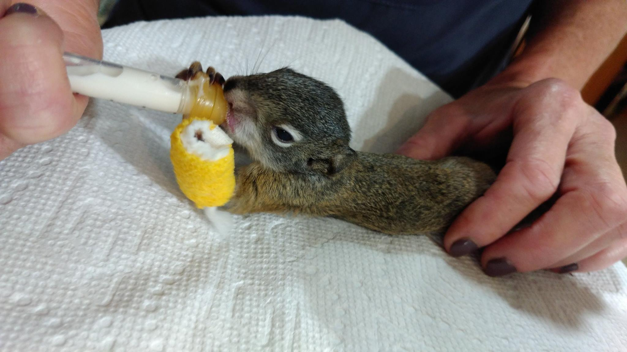Vets Are Rehabilitating A Baby Squirrel That Was Found With Broken Leg On The Side