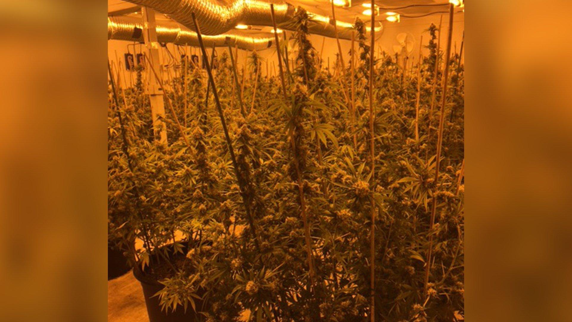 Deputies seize hundreds of marijuana plants in 10 locations